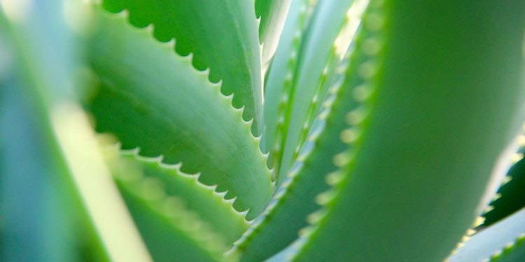 Aloe Vera Wirkung auf Haut, Verdauung, Schmerzen und Körper